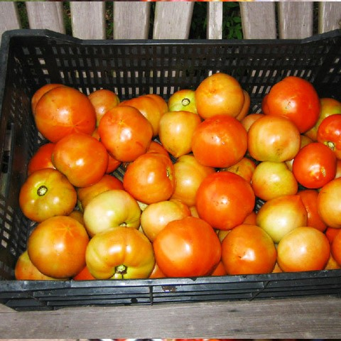 Michigan---Tomatoes